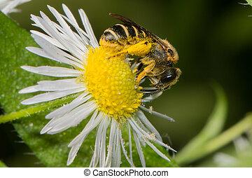 bee eating pollen on a daisy