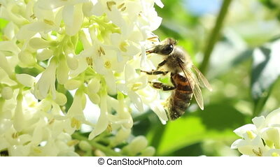 Bee Extracts Pollen - Close up shot of a working bee which...