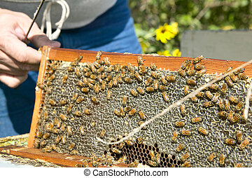 Bee farmer holding panel of honeycomb with bees