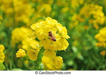 Bee feeding on rape blossoms