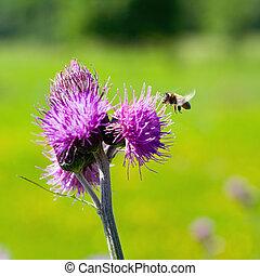Bee feeding on thistle flower in backlit