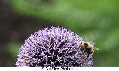 Bee feeds on nectar Globe Thistle (echinops ritro) - extreme close up