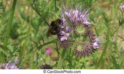 Bee feeds on nectar Phacelia, an insectary plant that attracts pollinators
