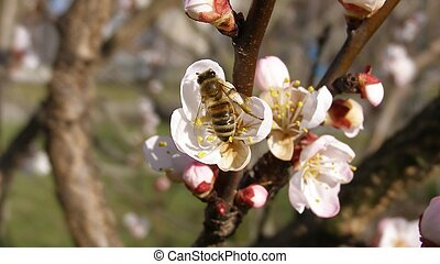 Bee fetching nectar from an apricot fruit tree flower (16:9 aspect ratio)
