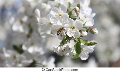 bee flies near a cherry flower, wildlife