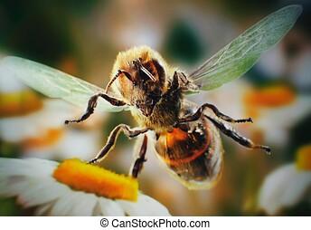 Bee flies over field daisies