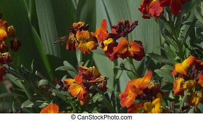 Bee flying near dark orange flower Slow motion video