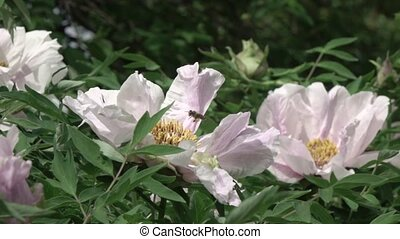 Bee flying over a flowering bush with pink flowers peony on...
