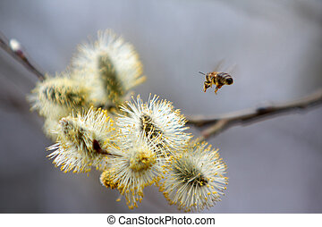 bee flying to the first flowers