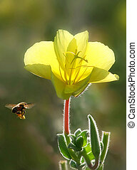 Bee flying towards yellow flower.