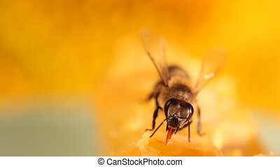 Bee gathering honey and nectar with proboscis. Close up...