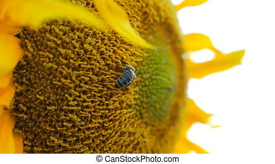 Bee gathering nectar from ripened sunflower in field. Bumble gathering pollen on yellow flower. Hard work of little insect. Slow motion Close up Detail view.