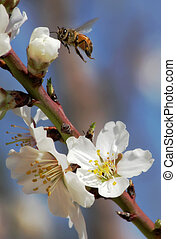 Bee gathering pollen from almond flowers. - Vertical ...