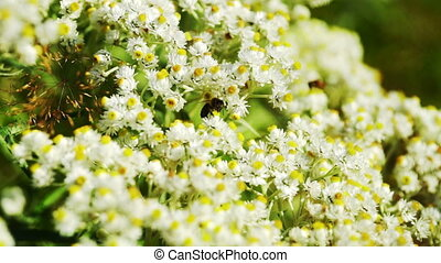 Bee Gathering Pollen From Small Daisy Flowers, Macro...