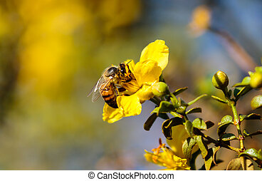 Bee gathering pollen from yellow flower in the desert.
