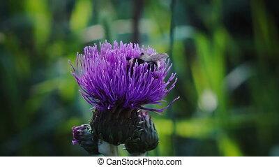 bee gathers honey Blue flower greater burdock macro in...