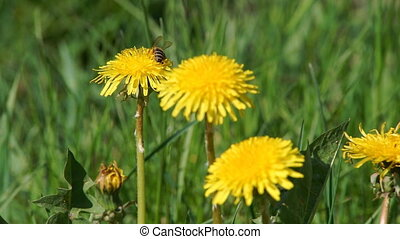 Bee Gathers Pollen