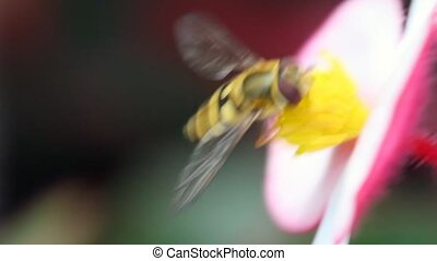 bee gathers pollen with is flower - bee gathers pollen with...
