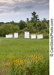 Bee hive boxes - Honeybee hive boxes dot a lush summer green...