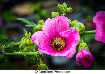 Bee in a pink flower, in Harpers Ferry, West Virginia.