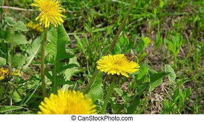 Bee in dandelions on green meadow - Bee in yellow dandelions...