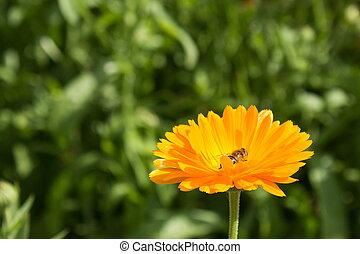 Bee in flower  amazing,honeybee pollinated of yellow