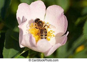 Bee in flower of brier