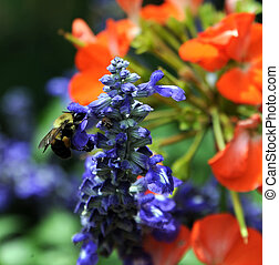 Bee in Garden - Bee Collects Nectar in the St. Elizabeth's ...