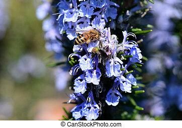 bee in rosemary flower