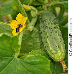 Bee in the flower of cucumber