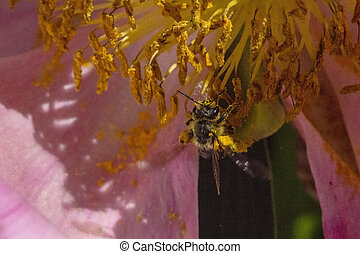 Bee in Yellow stamina of flower