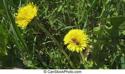 bee is collecting the pollen on dandelion flowers