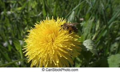 bee is collecting the pollen on dandelion flowers, slow...