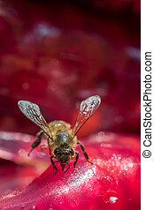 Bee is feeding on dried fruit pulp