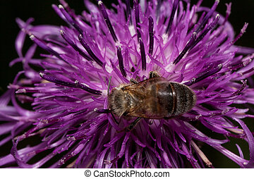 Bee is gathering nectar from a thistle flower. Animals in wildlife.