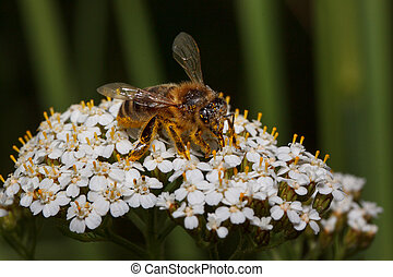 Bee is gathering nectar from a yarrow flowers. Animals in wildlife.