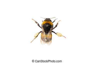 Bee, isolated on white