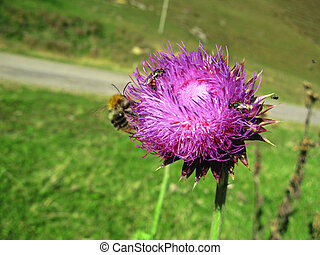 Bee landing on the thistle