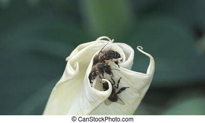 Bee lefts flower in super slow motion - Bee lefts white...