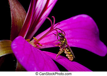 Bee looking for nectar on the pistil of a geranium