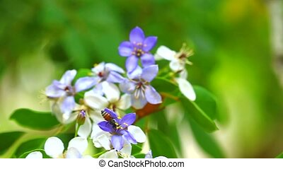 bee move on the pollen of Lignum vitae blue white flowers