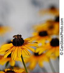 Bee on a black eyed susan flower - bee, black eyed susan,...