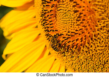 Bee on a close-up sunflower