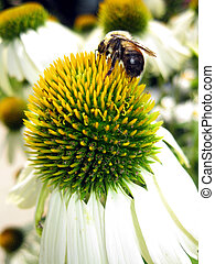 Bee on a Flower - A bumblebee collecting nectar from a white...