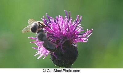 bee on a flower macro