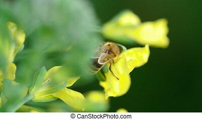 Bee on a flower of Brassica oleracea