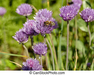bee on a flower of chive