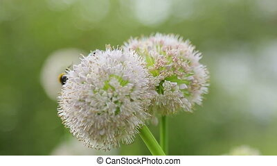 Bee on a flower of onions