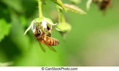 Bee on a flower raspberry