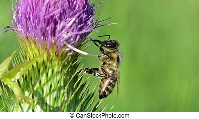 Bee on a flower washes his face.